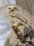 The spotted owlet Athene brama. Is a small owl which breeds in tropical Asia from mainland India to Southeast Asia stock photo