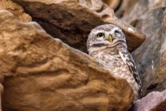 Spotted owlet or Athene brama Royalty Free Stock Image