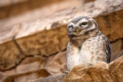 Spotted owlet or Athene brama Royalty Free Stock Photography