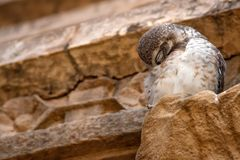 Spotted owlet or Athene brama Royalty Free Stock Photo