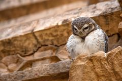 Spotted owlet or Athene brama Royalty Free Stock Images