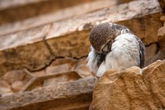Spotted owlet or Athene brama Stock Images