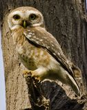 The spotted owlet Athene brama. Is a small owl which breeds in tropical Asia from mainland India to Southeast Asia Stock Image