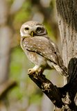 The spotted owlet Athene brama. Is a small owl which breeds in tropical Asia from mainland India to Southeast Asia Royalty Free Stock Photo