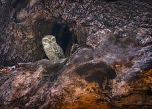 Spotted owlet, Athene brama, Tadoba, Maharashtra, India. Spotted owlet, Athene brama at Tadoba in Maharashtra, India stock photo