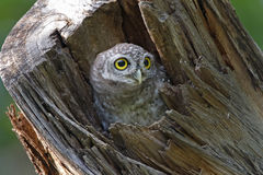 Spotted owlet Athene brama in tree hollow Royalty Free Stock Image