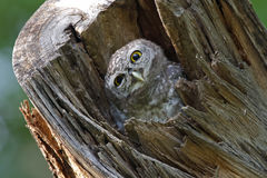 Spotted owlet Bird in tree hollow Royalty Free Stock Photography
