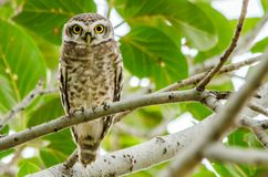 Spotted Owlet - Birds of Pakistan. The spotted owlet is a small owl which breeds in tropical Asia from mainland India to Southeast Asia. A common resident of royalty free stock photos
