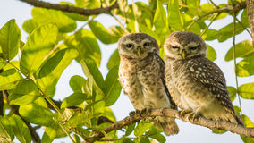 Spotted Owl pair stock images