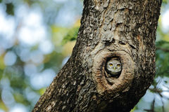 Spotted Owlet. Hiding in the tree royalty free stock image