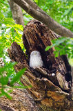 Spotted owlet in hollow of a tree Stock Images