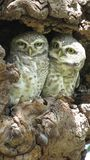 SPOTTED OWLET royalty free stock image
