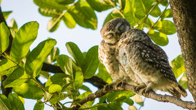 Two owls, spotted owl, kiss Royalty Free Stock Photo