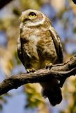A spotted owlet in a forest. A spotted owlet looking up in the sky in a forest on a sunny day Royalty Free Stock Images