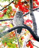 OWL WITH FLOWER BACKGROUND Royalty Free Stock Image
