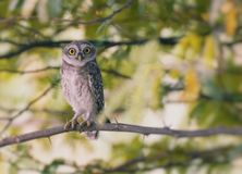 The Spotted owlet Stock Images