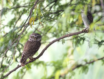 The Spotted owlet Royalty Free Stock Image