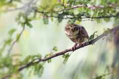 The Spotted owlet Stock Image