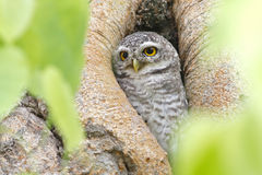 Spotted owlet nest in tree hollow Royalty Free Stock Image
