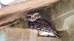 Spotted Owlet in a old palace at Mandu-India. The spotted owlet is a small owl which breeds in tropical Asia from mainland India to Southeast Asia Royalty Free Stock Photos