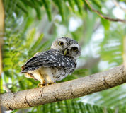 Spotted Owlet Royalty Free Stock Photo