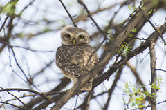 Spotted Owlet. Perching on Babool Tree , head rotated at 360 degree angle Stock Photos