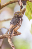Spotted owlet portrait Stock Image