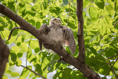 Spotted owlet. Royalty Free Stock Image
