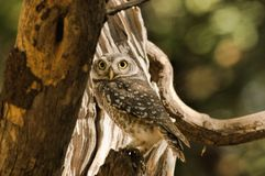 Spotted Owlet. Single Spotted Owlet photographed in Sasan Gir Royalty Free Stock Images