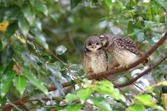 Spotted Owlet kiss of  love royalty free stock photo