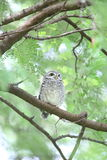 Spotted owlet. Athene brama in Khao Yai National Park, Thailand Stock Images
