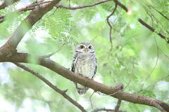Spotted owlet Royalty Free Stock Photos