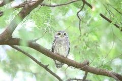 Spotted owlet. Athene brama in Khao Yai National Park, Thailand Royalty Free Stock Photos
