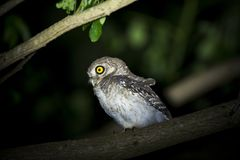 Spotted owlet Stock Photography