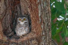 Spotted owlet Stock Photos