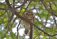 Spotted Owlet Staring. Spotted Owlet(Athene brama) Staring. They are small owls found in India in vicinity of Humans. They feed on insects, small reptiles and Royalty Free Stock Image