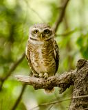 A spotted owlet staring directly at the photographer Stock Photo