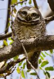 A spotted owlet staring directly at the photographer Royalty Free Stock Photography
