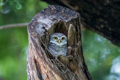 Spotted Owlet. Stock Image