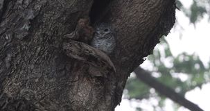 Spotted Owlet On Tree Hole. Spotted owlet, Athene brama, is outside her nest on tree hollow looking around in Thailand stock video