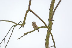 Spotted Owlet in a Tree Royalty Free Stock Photos