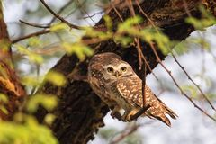 Spotted owlets Athene brama sitting on a tree in Keoladeo Ghan. A National Park,  Bharatpur, India. The park is a World Heritage Site Stock Image