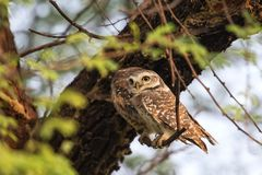 Spotted owlets Athene brama sitting on a tree in Keoladeo Ghan Stock Photo