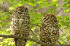 Spotted Owls. A beautiful pair of Spotted Owls (Strix occidentalis) in south-eastern Arizona Stock Photo