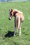 Spotted palomino foal. Rear view of spotted palomino foal looking back over shoulder, green grass, background stock images