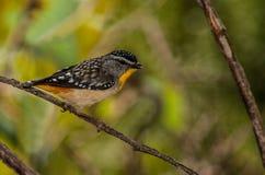 Spotted Pardalote. (Pardalotus punctatus) near Bogong Vic Stock Image
