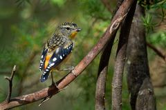 Spotted Pardalote - Pardalotus punctatus small australian bird, beautiful colors, in the forest in Australia, Tasmania.  stock photos