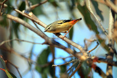 Spotted Pardalote Royalty Free Stock Image