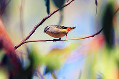 Spotted Pardalote Royalty Free Stock Photo