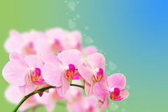 Spotted pastel orchid flowers on gradient Royalty Free Stock Photos